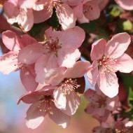Spring Blossoms on Pink Crabapple Tree - Free High Resolution Photo