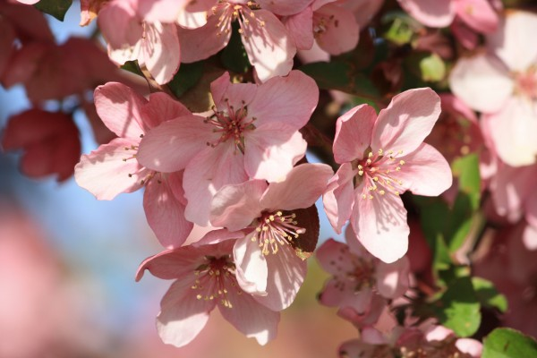 Pink Cherry Blossoms Stock Images  Dreamstime