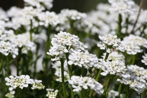 Sweet Alyssum White Flowers - Free High Resolution Photo