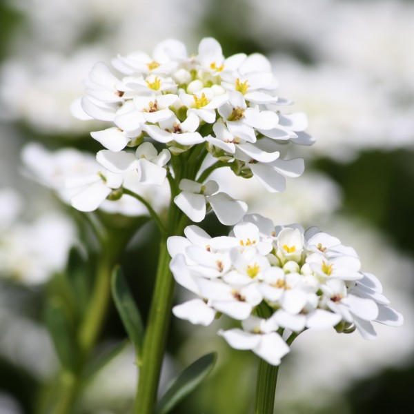 Sweet Alyssum White Flowers Close Up Picture Free