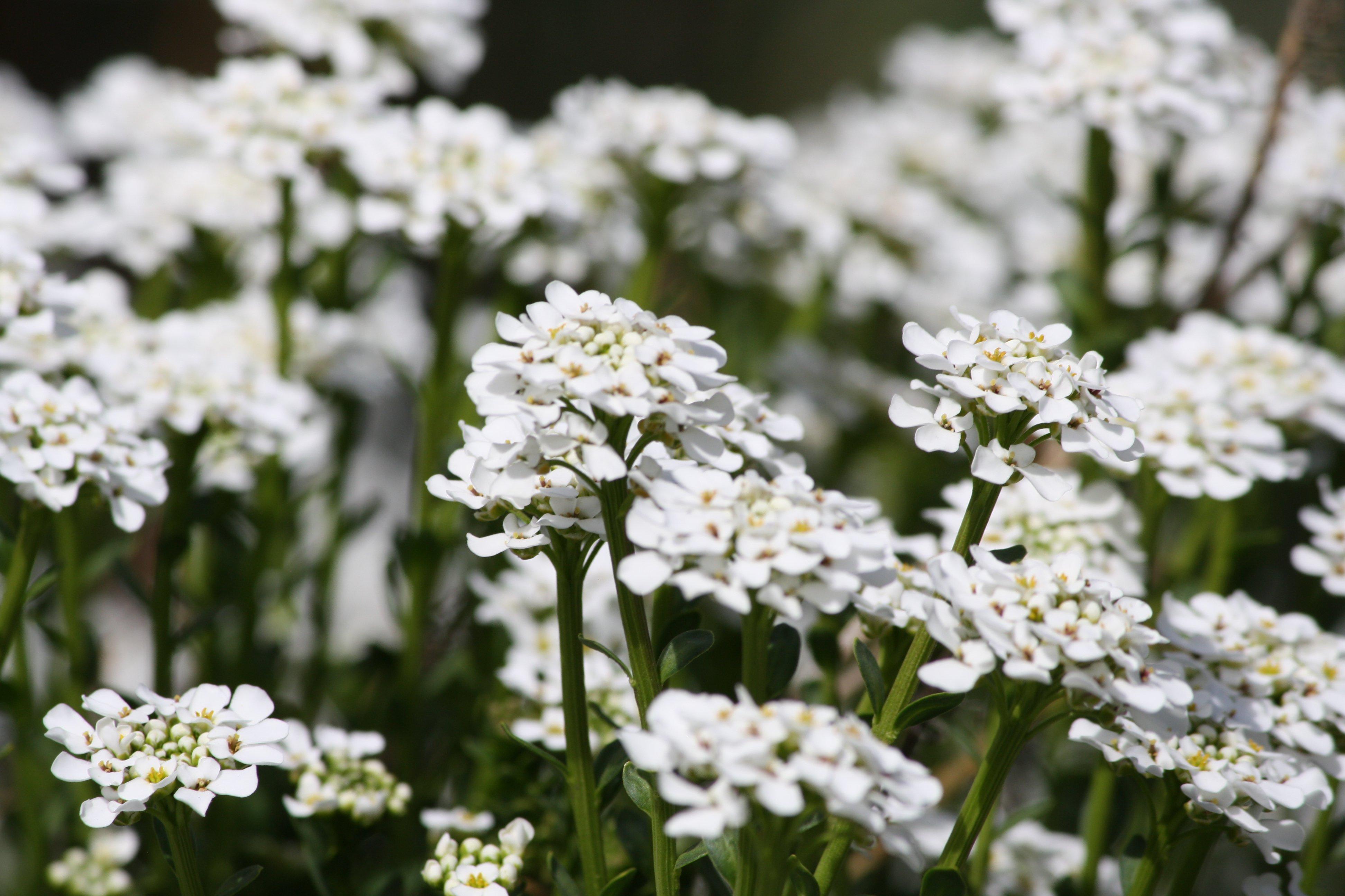 Sweet Alyssum White Flowers Photos Public Domain