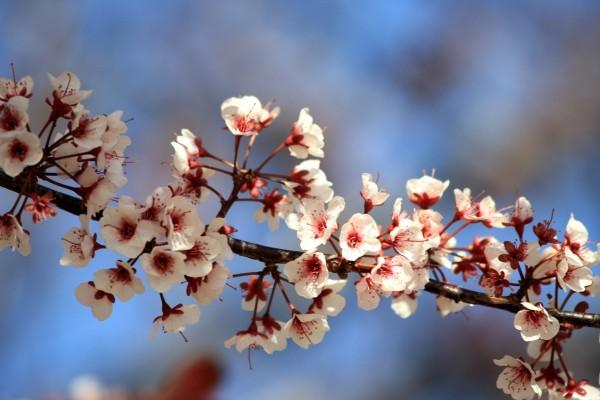 Tiny White Blossoms - Free High Resolution Photo