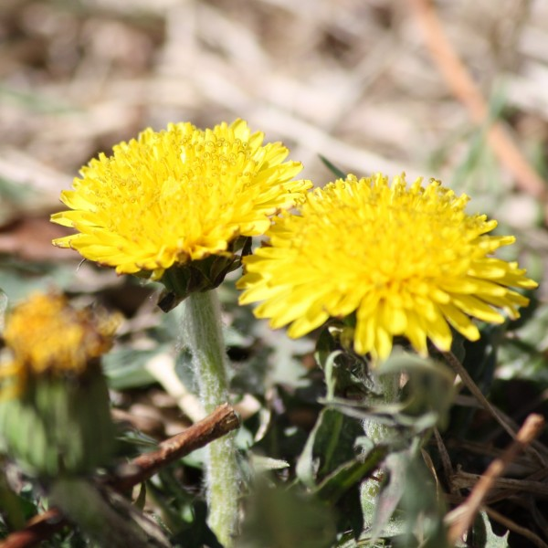 Two Dandelion Flowers - Free high resolution photo