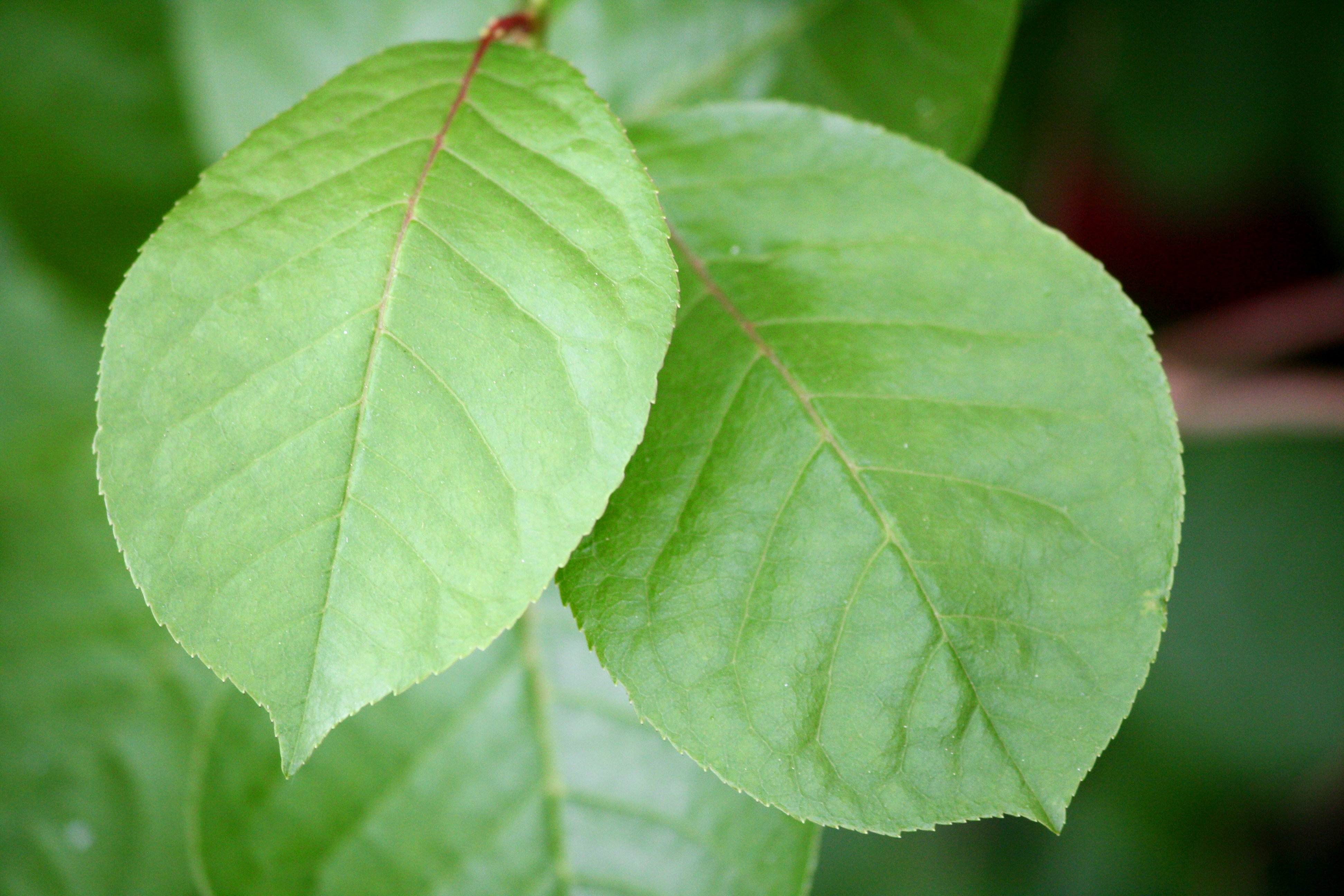 Two Green Leaves - Fre...