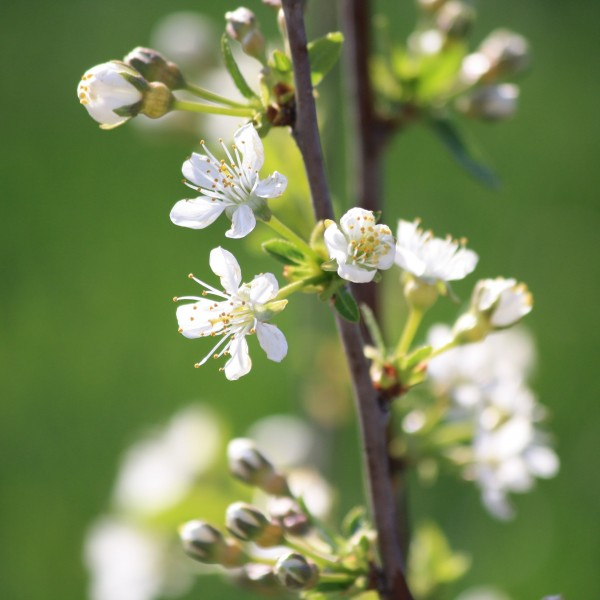 White Blossoms Close Up - Free High Resolution Photo