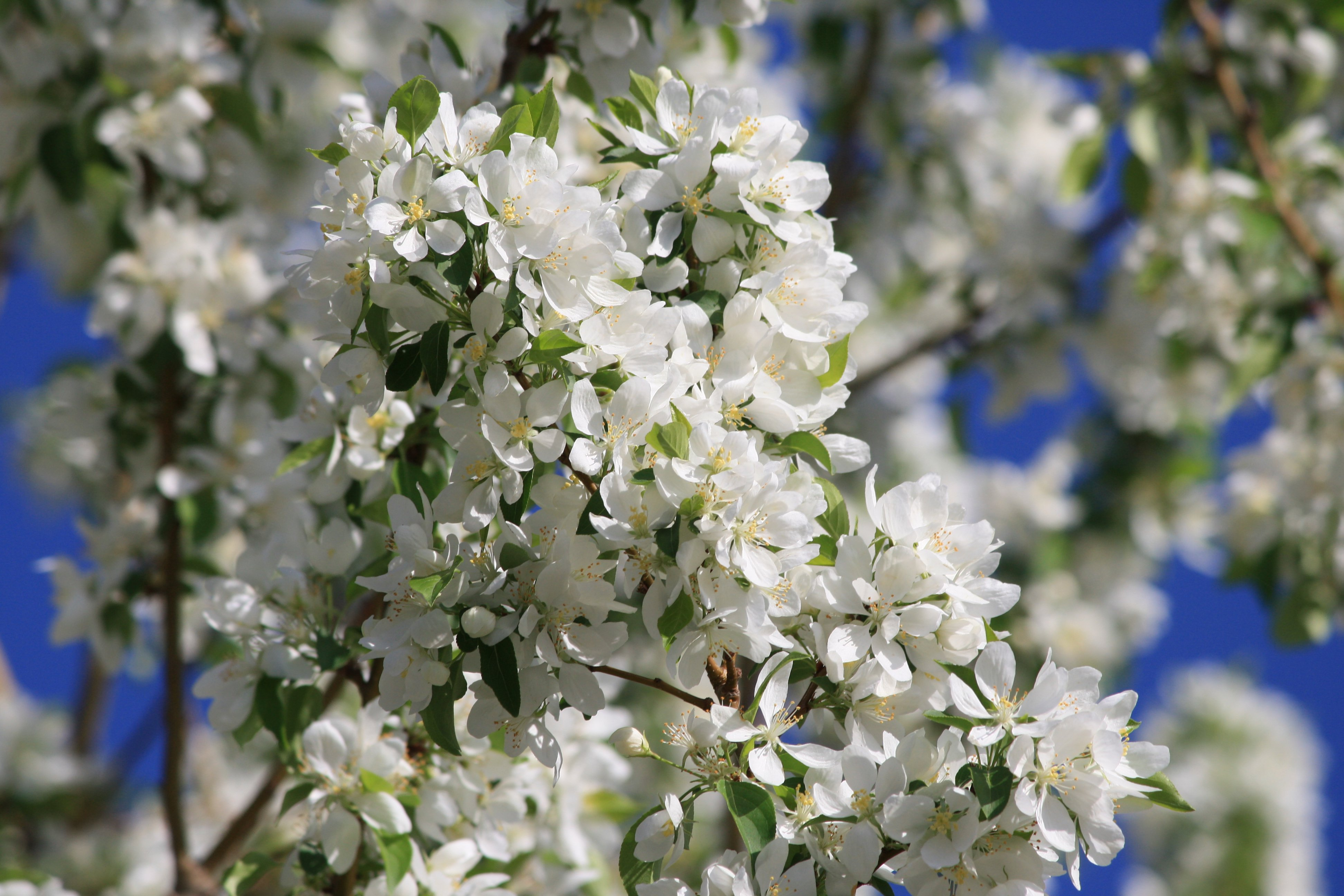 White Blossoms On Crabapple Tree Photos Public Domain