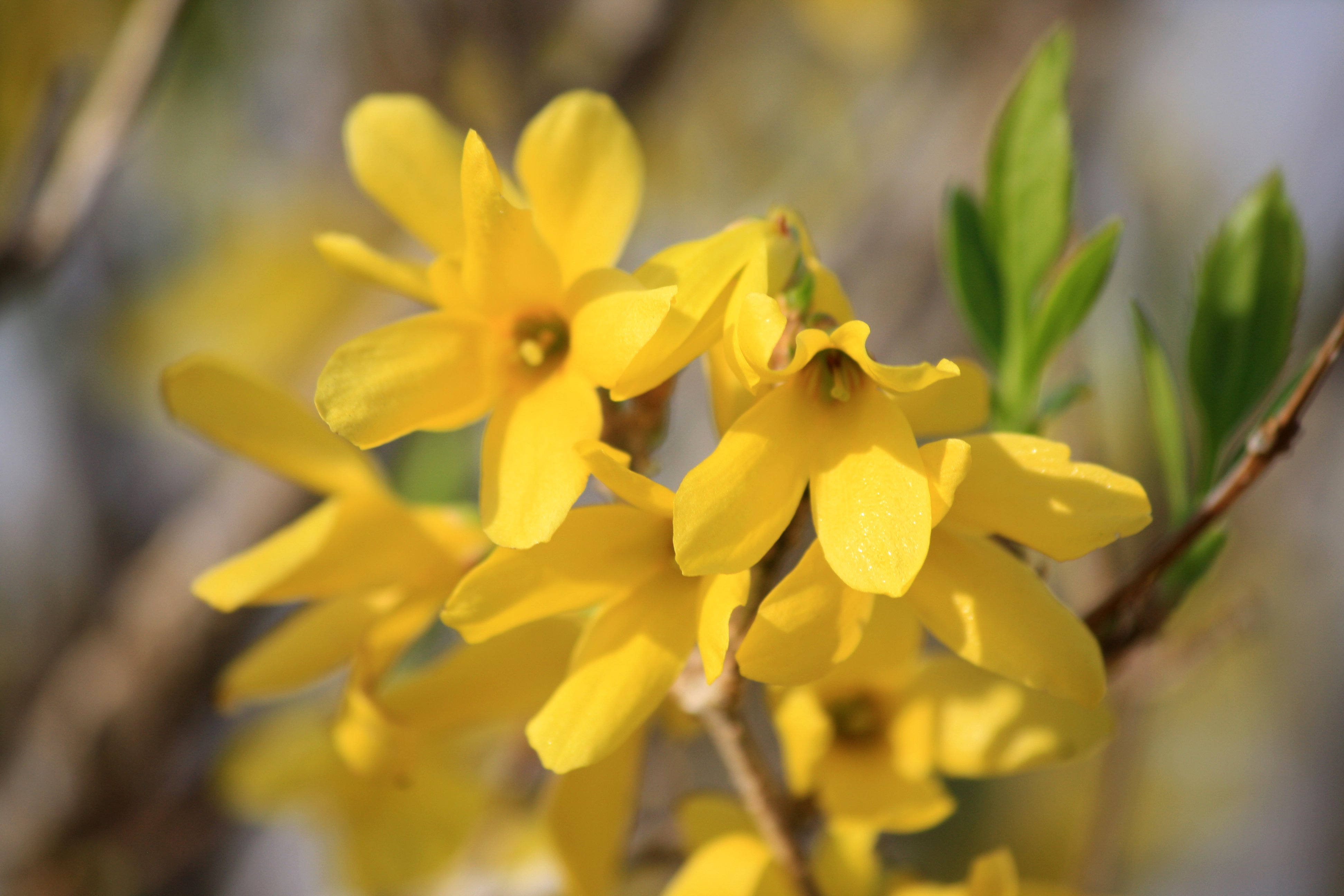 yellow forsythia flowers picture  free photograph  photos public, Beautiful flower