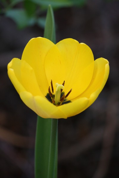 Yellow Tulip - Free High Resolution Photo