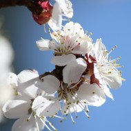 Apricot Blossoms Close Up - Free High Resolution Photo