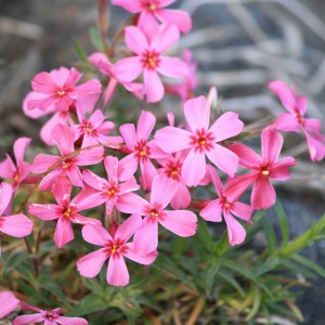 Creeping Phlox Pink Flowers - Free High Resolution Photo
