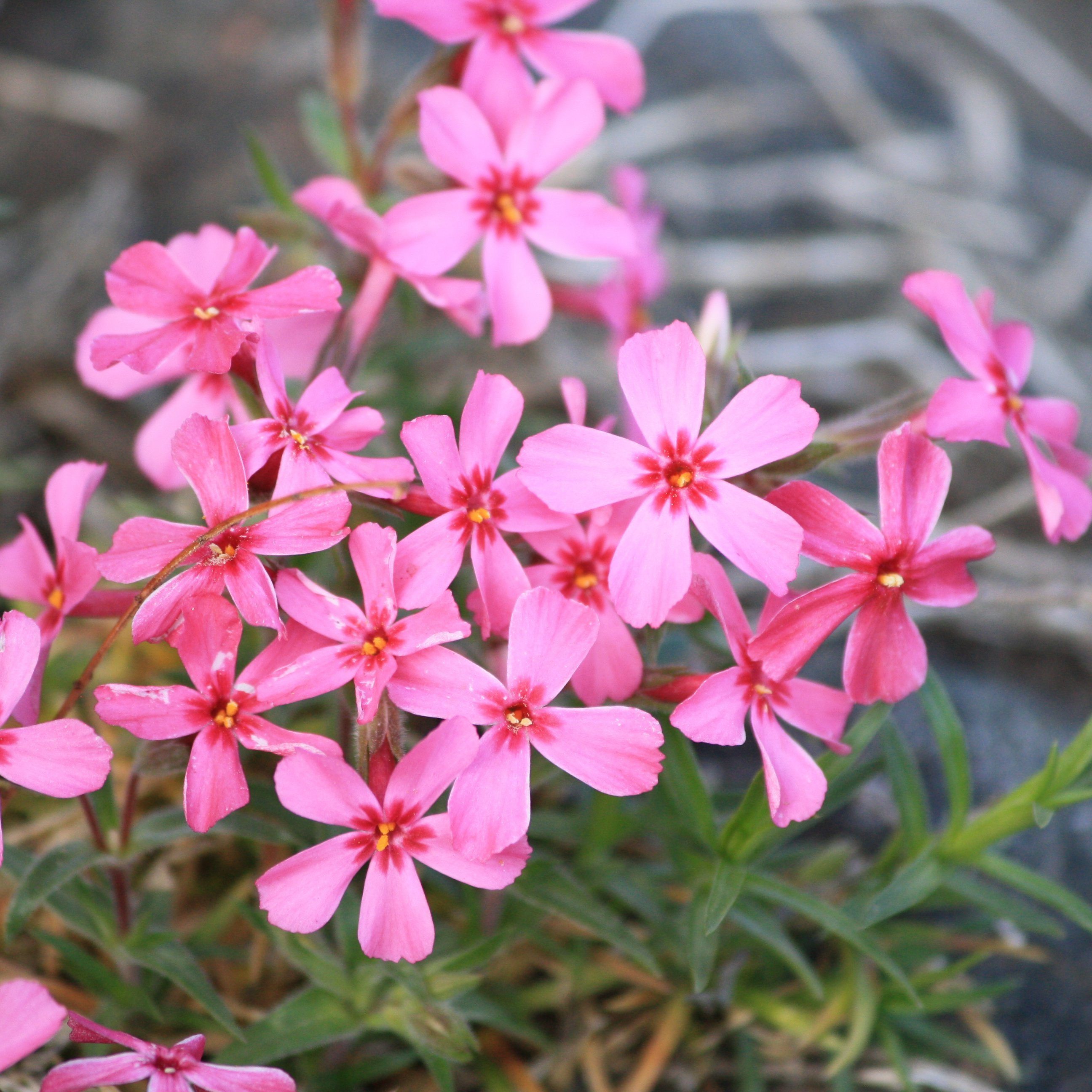 Creeping Phlox Pink Flowers Picture Free Photograph