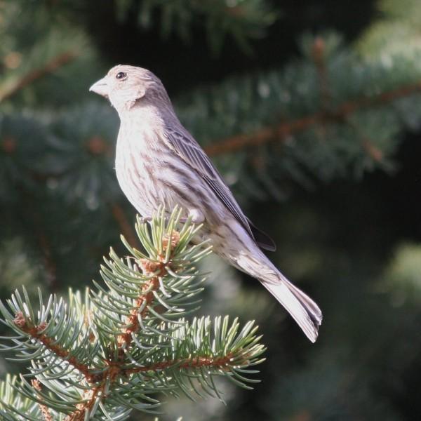 Female House Finch Bird - Free High Resolution Photo