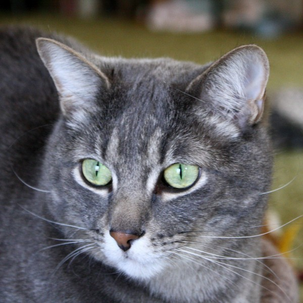 Gray Tabby Cat with Green Eyes Close Up - Free High Resolution Photo