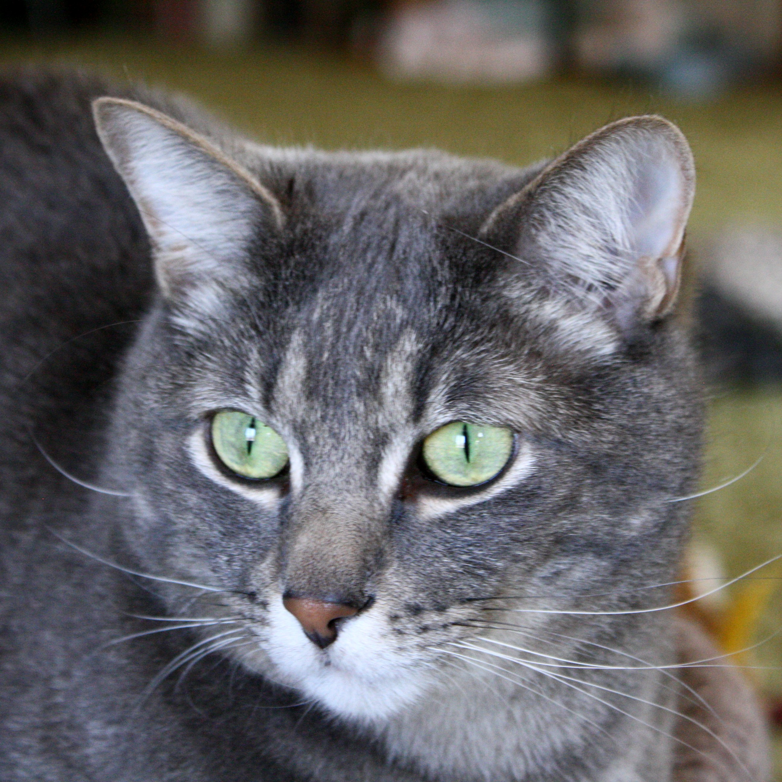 Gray Tabby Cat with Green Eyes Close Up Picture