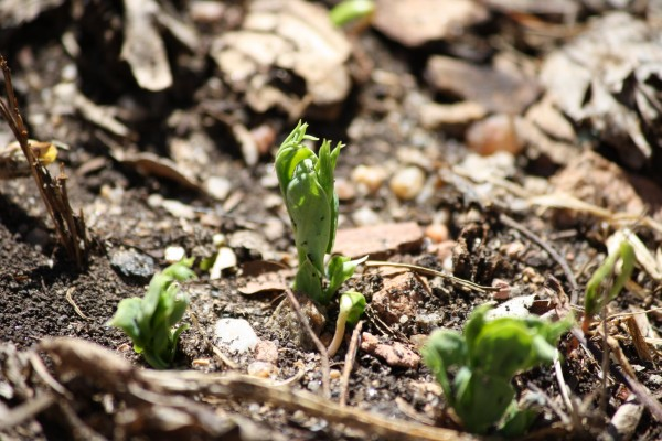 Pea Sprouts in Spring Garden - Free High Resolution Photo
