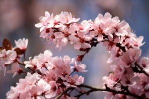 Pink Plum Blossoms - Free High Resolution Photo