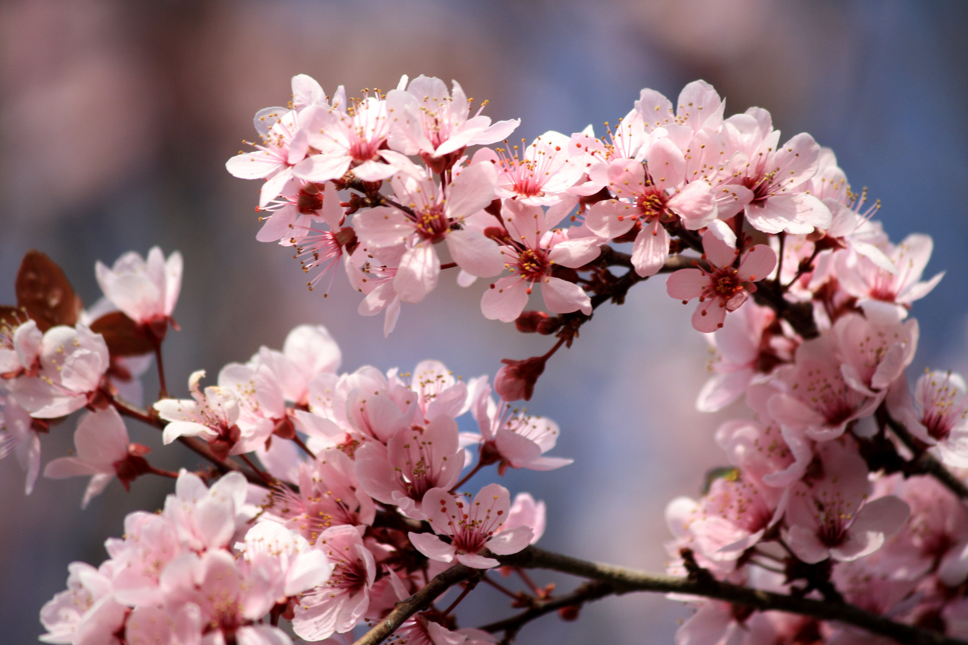 Pink Plum Blossoms Picture | Free Photograph | Photos ...