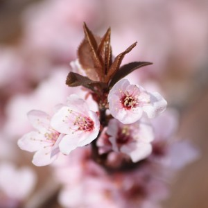 Plum Blossoms and Sprouting Leaves - Free High Resolution Photo