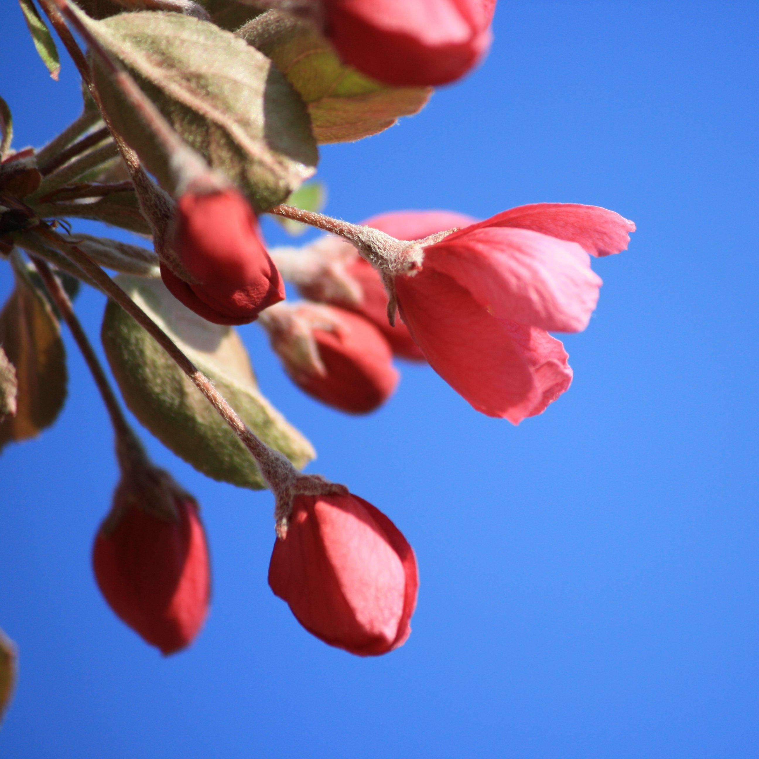 Red Flower Bud Starting To Blossom Picture Free