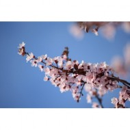 sprig-of-pink-plum-blossoms-thumbnail
