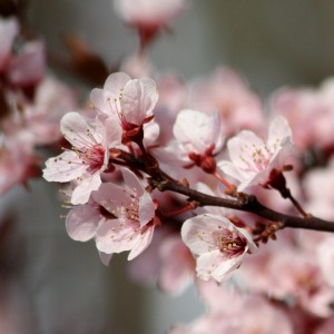 Thundercloud Plum Blossoms - Free High Resolution Photo