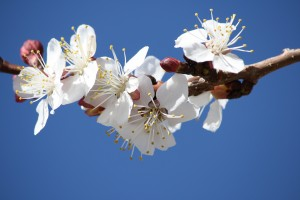 White Spring Fruit Blossoms - Free High Resolution Photo