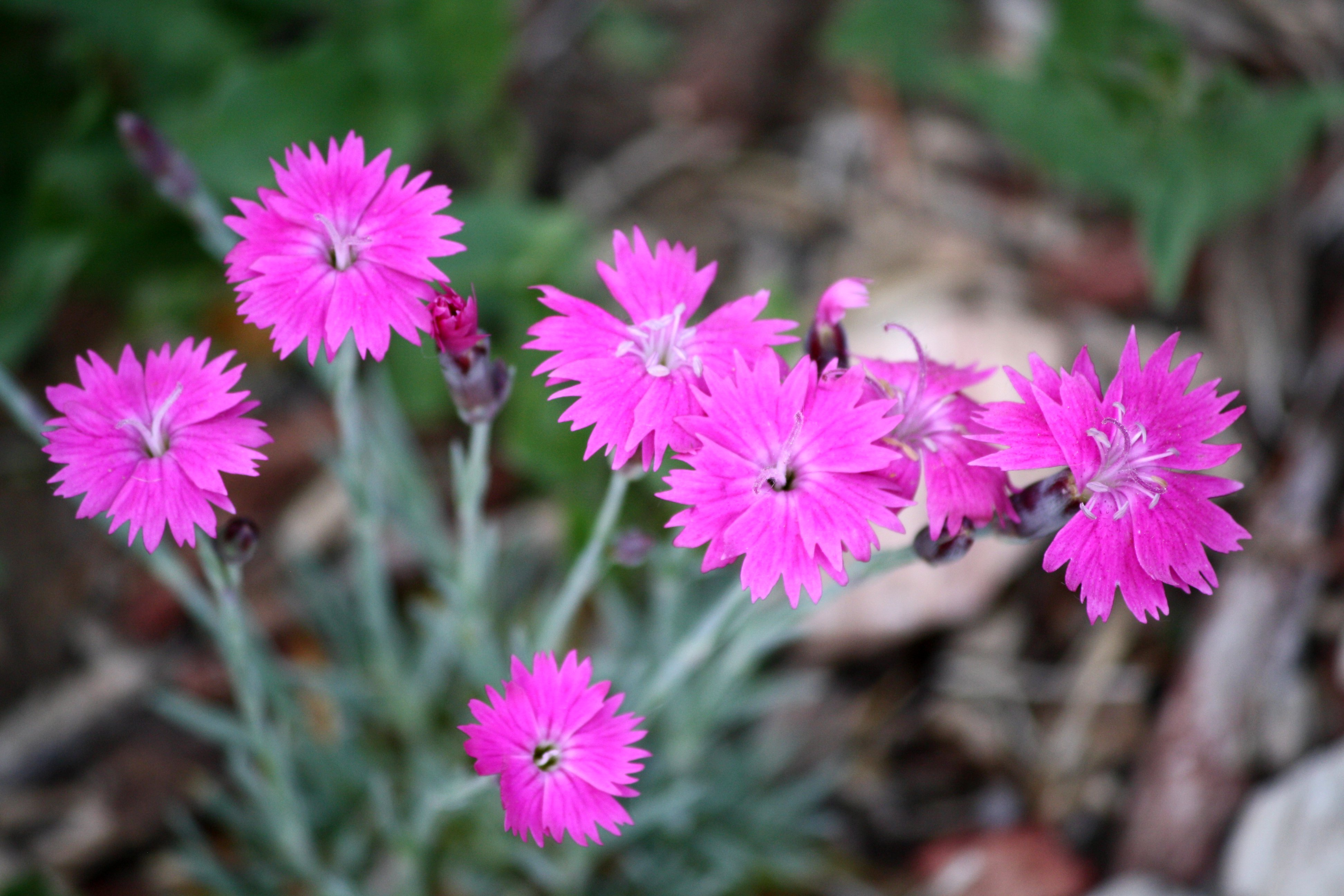 Pink dianthus flowers photos public domain pink dianthus flowers mightylinksfo