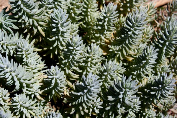 Silver Stone, Sedum Forsterianum, or Stonecrop - Free High Resolution Photo