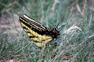 Yellow and Black Butterfly - Free High Resolution Photo
