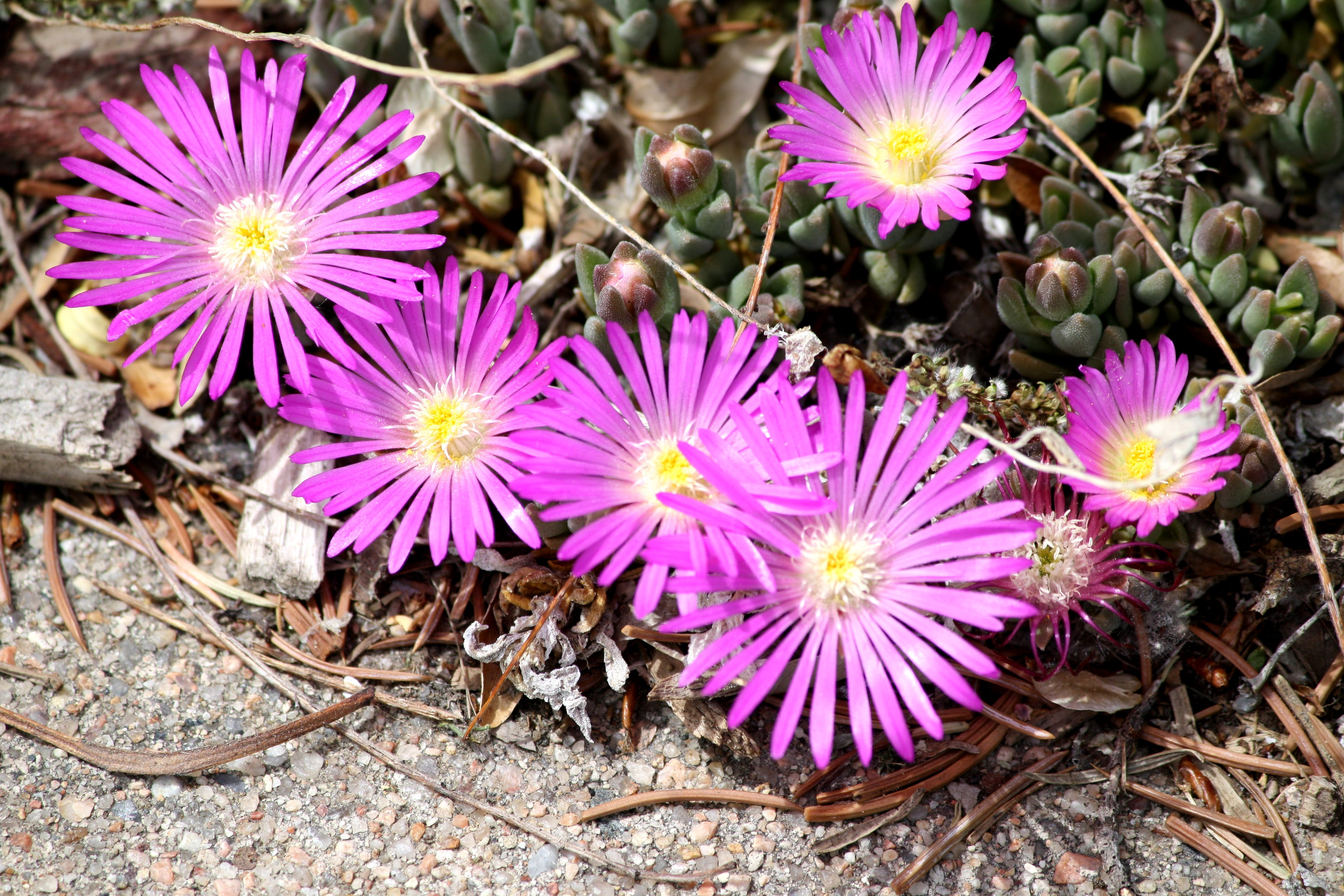 Pink Ice Plant Flowers Close Up Photos Public Domain