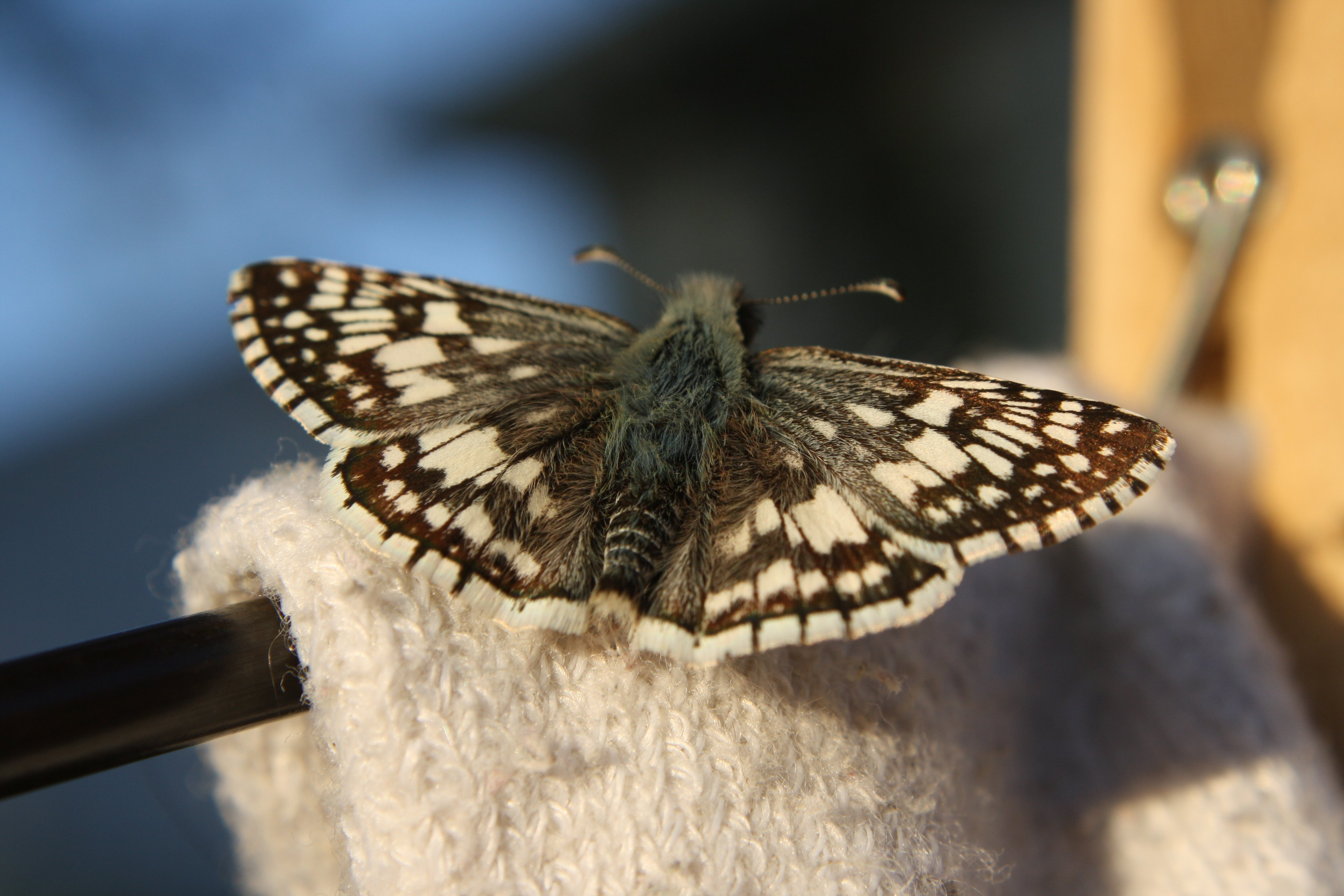 Brown And White Butterfly Checkered Skipper Picture