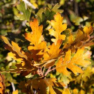 Golden Fall Scrub Oak Leaves Close Up - Free High Resolution Photo
