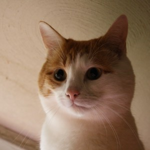 Orange and White Cat Face Close Up - Free High Resolution Photo