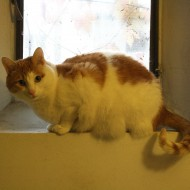 Orange and White Cat in Window Sill - Free High Resolution Photo