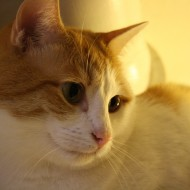 Orange and White Kitty Face Close Up - Free High Resolution Photo