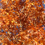 Orange Autumn Leaves - Free High Resolution Photo