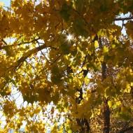 Sun Peeking Through Autumn Cottonwood Leaves - Free High Resolution Photo