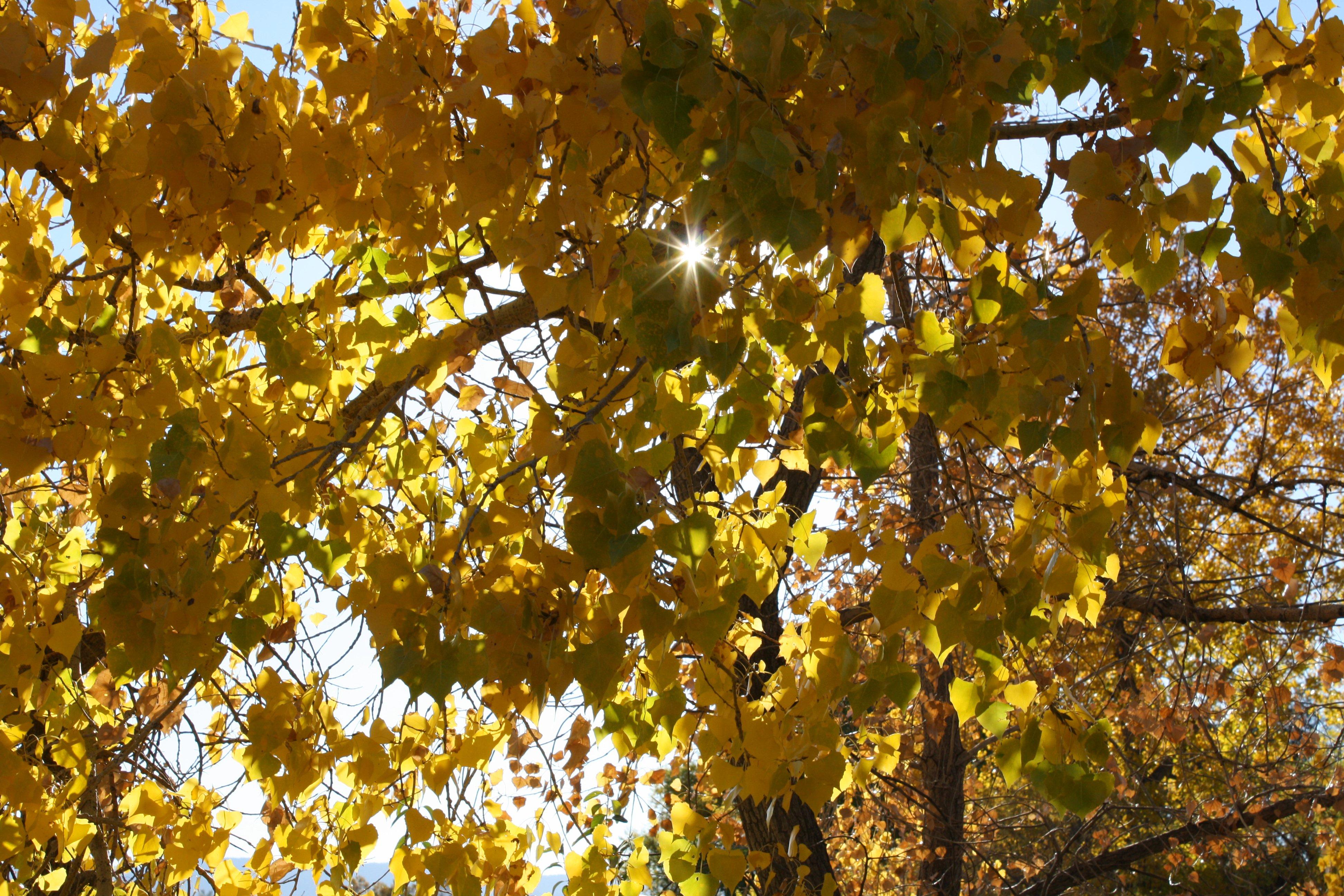 Sun Peeking Through Autumn Cottonwood Leaves Picture