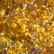 Yellow Fall Cottonwood Leaves Texture - Free High Resolution Photo
