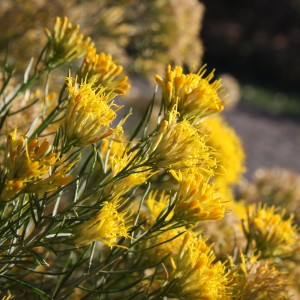 Yellow Flowering Rabbitbrush - Free High Resolution Photo