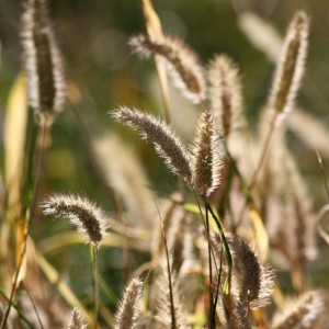 Dry Grass Seed Heads - Free High Resolution Photo