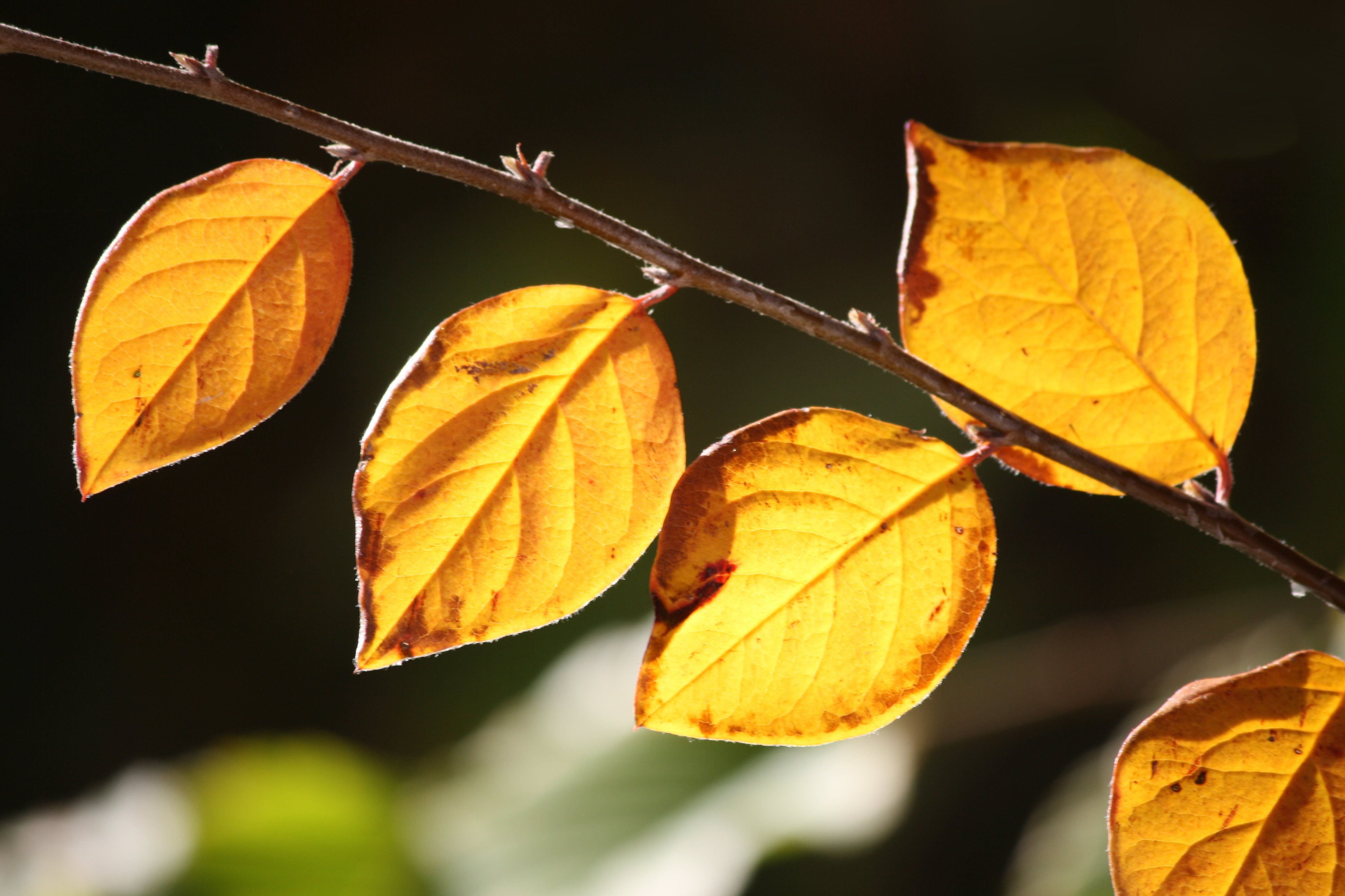 Golden Orange Fall Leaves In Sunlight Closeup Picture