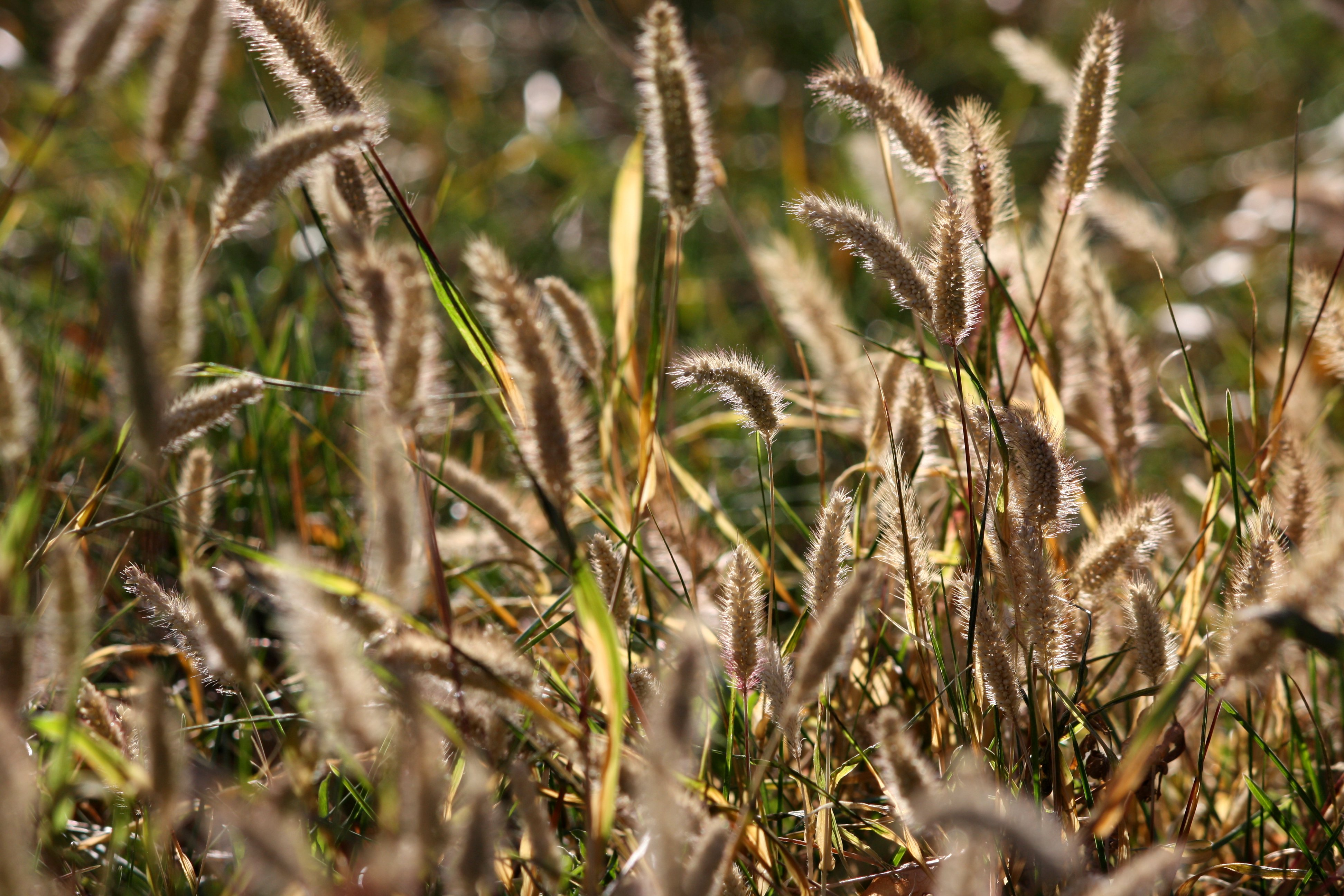 Wild Grass Seed Heads Picture Free Photograph Photos