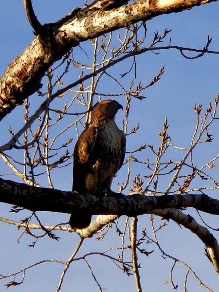 Hawk on Tree Branch - Free High Resolution Photo