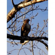 hawk-on-tree-branch-thumbnail