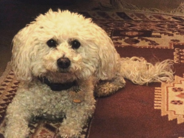 Maltese dog with curly white fur picture free photograph photos