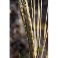 dried-grass-seed-head-macro-thumbnail