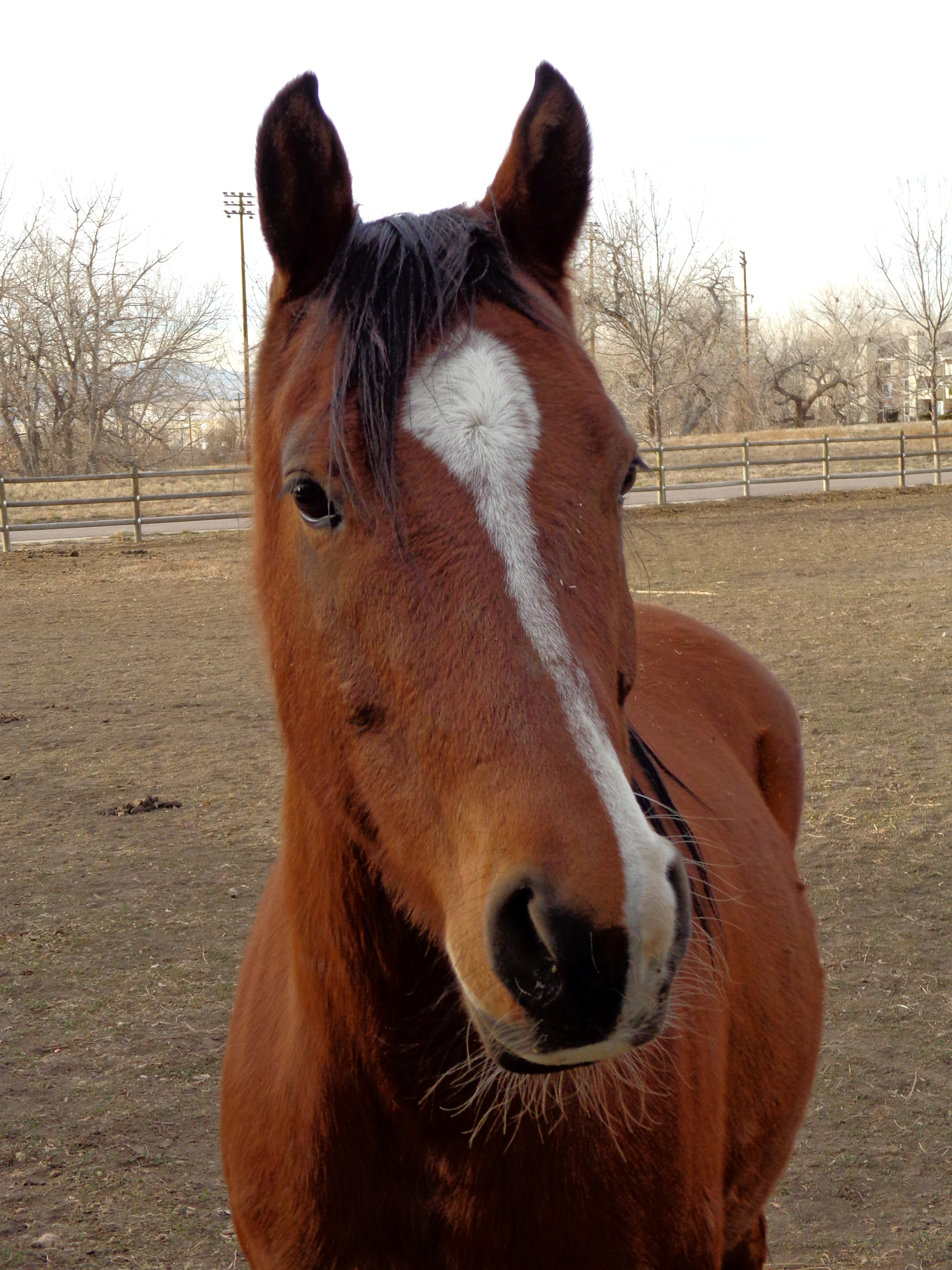 brown horse with white blaze or stripe picture | free photograph