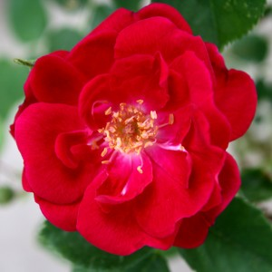 Wild Red Rose - Free High Resolution Photo