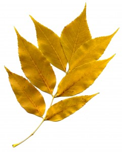 Golden Autumn Leaves - Free High Resolution Photo